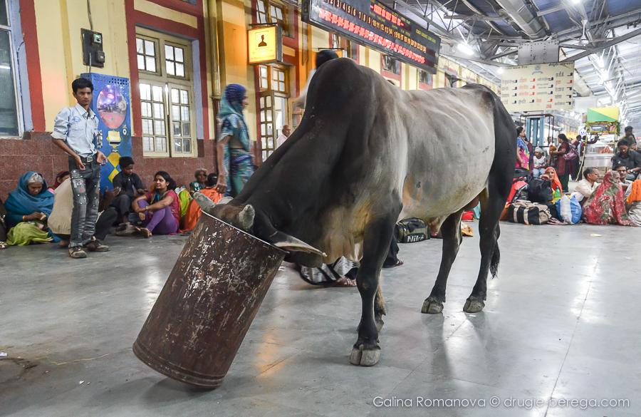 Коровы в Индии гуляют даже на вокзалах
