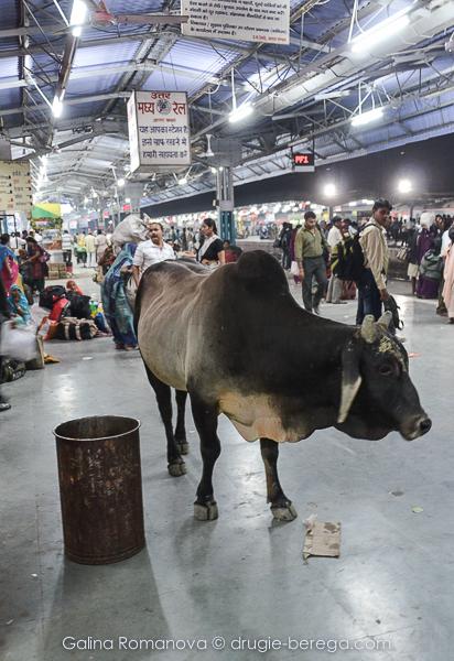 Коровы на индийском вокзале