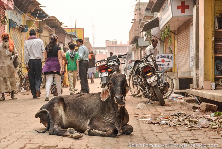 Коровы - священное животное в Индии