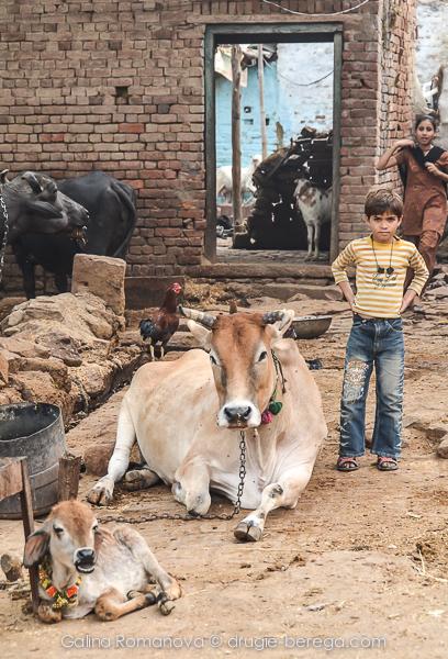 Коровы в Индии - повсюду