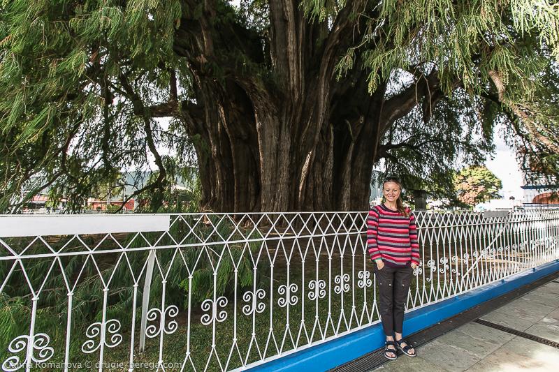 Дерево Туле, Мексика; Arbol del Tule - самое толстое дерево на земле
