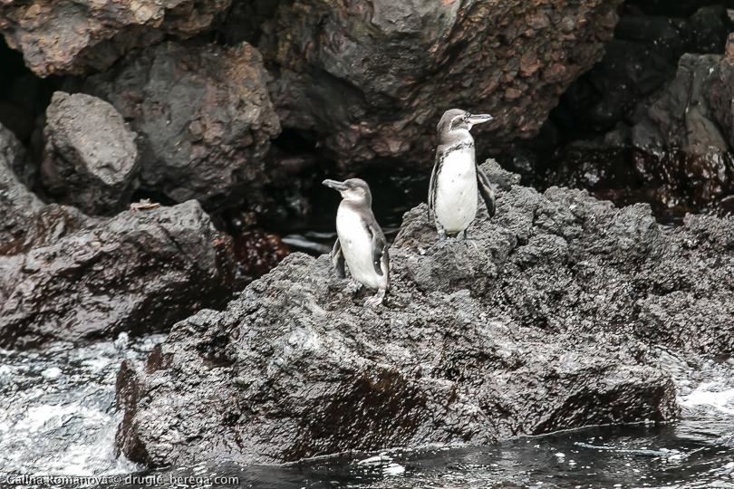 Галапагосские пингвины, остров Флореана