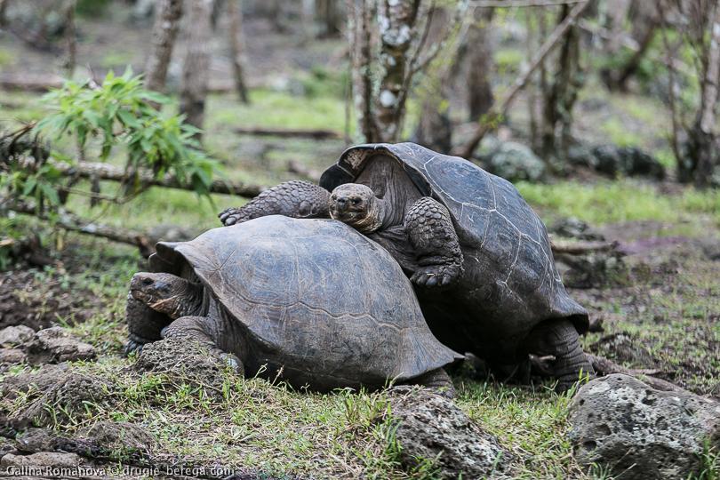 Гигантские (слоновые) черепахи, Галапагосские острова