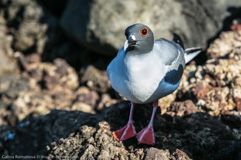 Галапагосская чайка - эндемик Галапагосских островов, остров Сан-Кристобаль; Galapagos, San Cristobal island