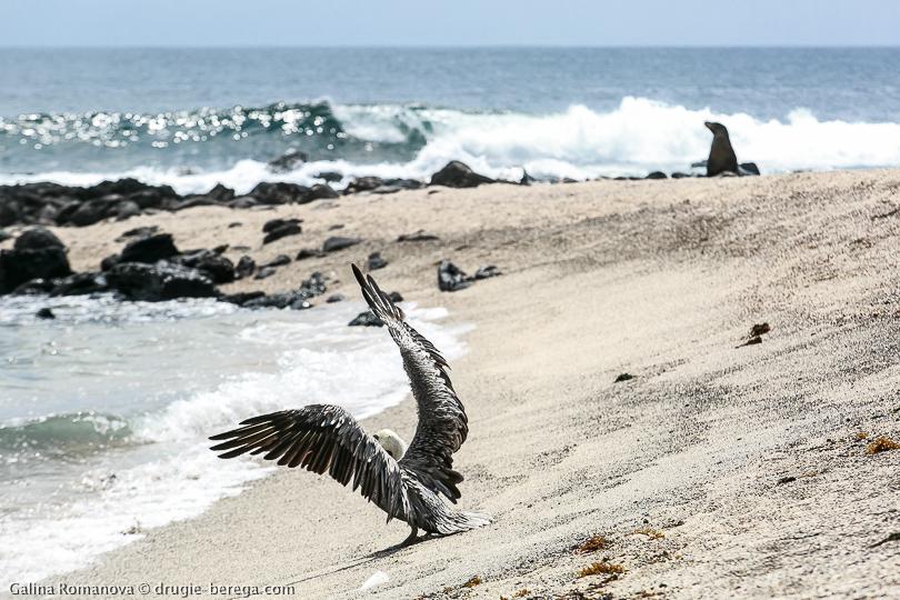Пеликан на охоте