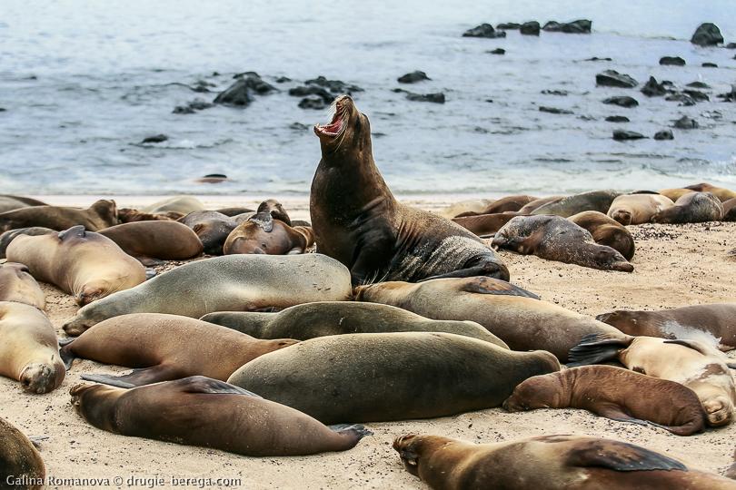 Колония морских львов на Сан-Кристобале