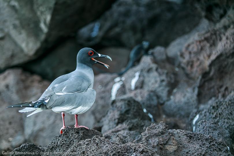 Галапагосская чайка