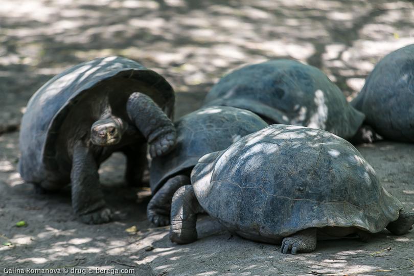 Слоновая или галапагосская черепаха на острове Исабела