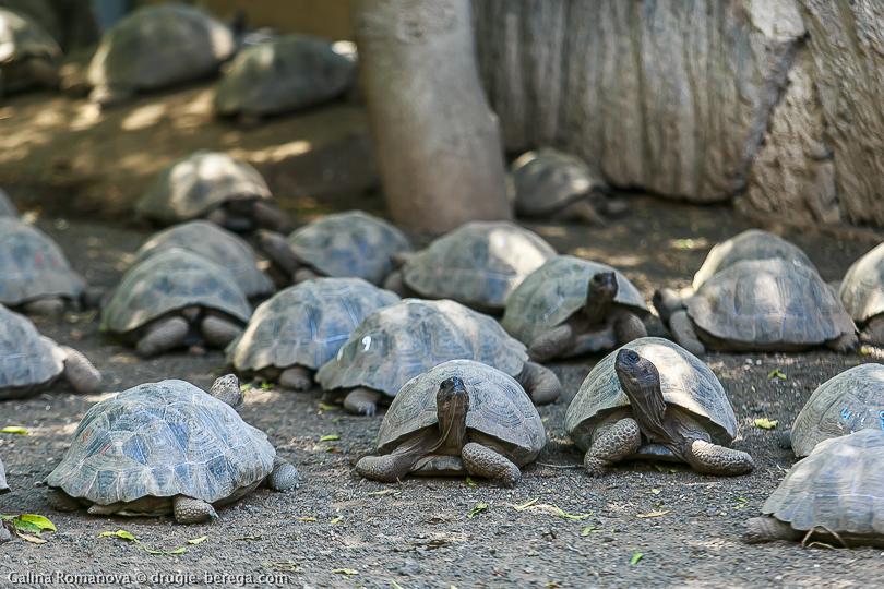 Слоновая или галапагосская черепаха, Галапагосские острова