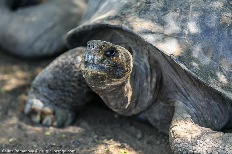 Слоновая или галапагосская черепаха, остров Изабела Галапагосские острова