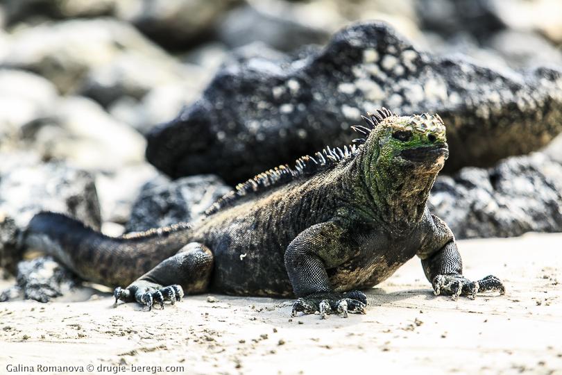 Галапагосские острова, морская игуана; Galapagos islands, iguana marine