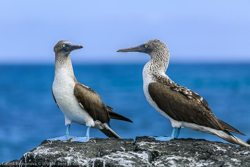 Голуболапые олуши, Галапагосские острова; Blue-footed booby, Galapagos islands