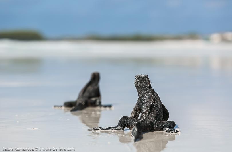 Морские игуаны на пляже Тортуга Бэй, Галапагосы