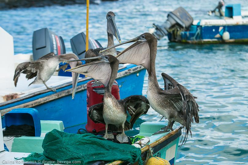 Пеликаны, охотящиеся на добычу рыбаков