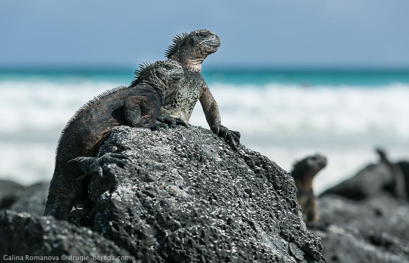 Галапагосские острова. морские игуаны