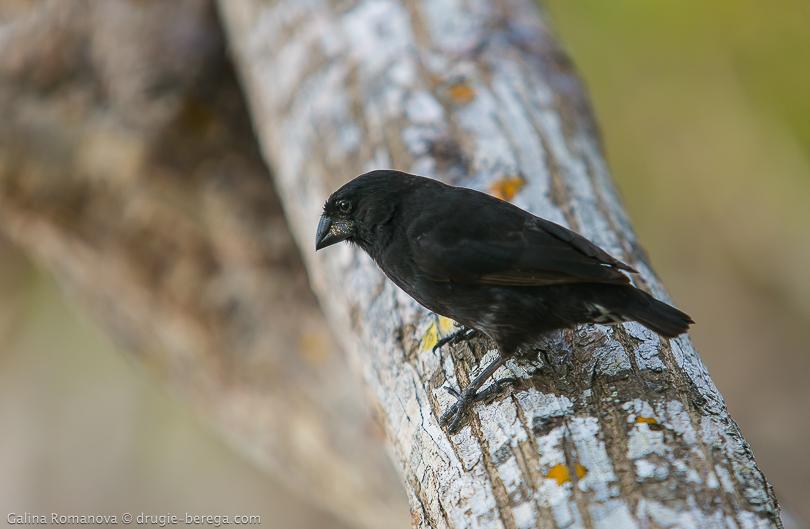 Вьюрок Дарвина, Галапагосские острова