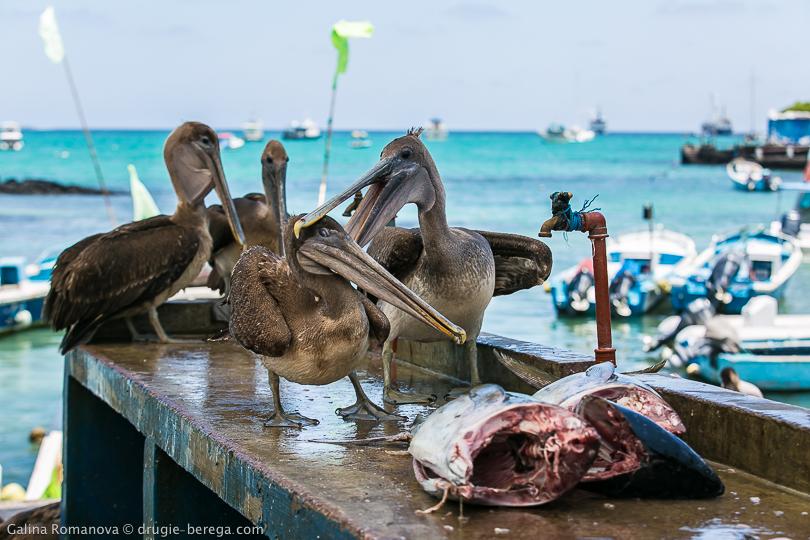 Пеликаны на рыбном рынке
