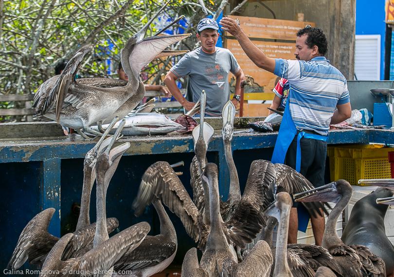 Пеликаны делят добычу