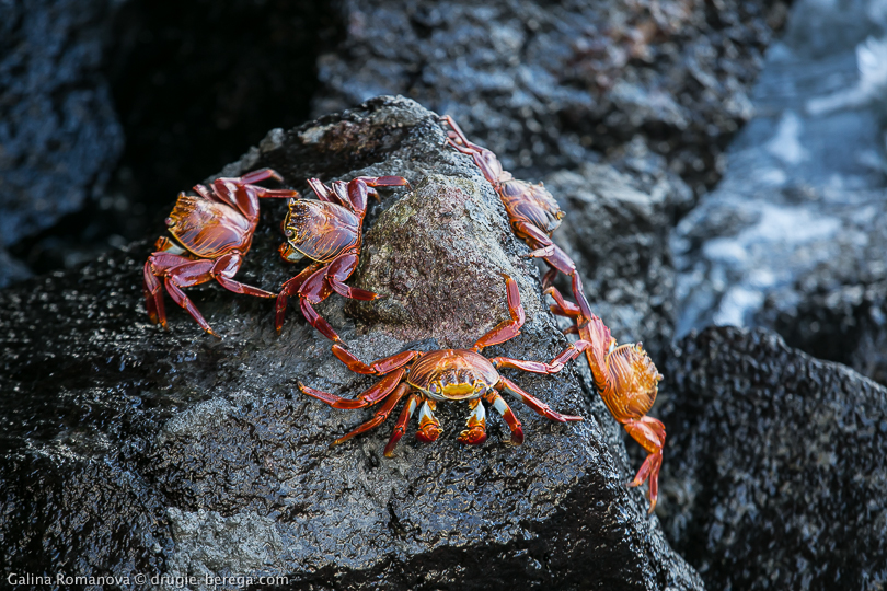 Краб grapsus grapsus на Галапагосских островах