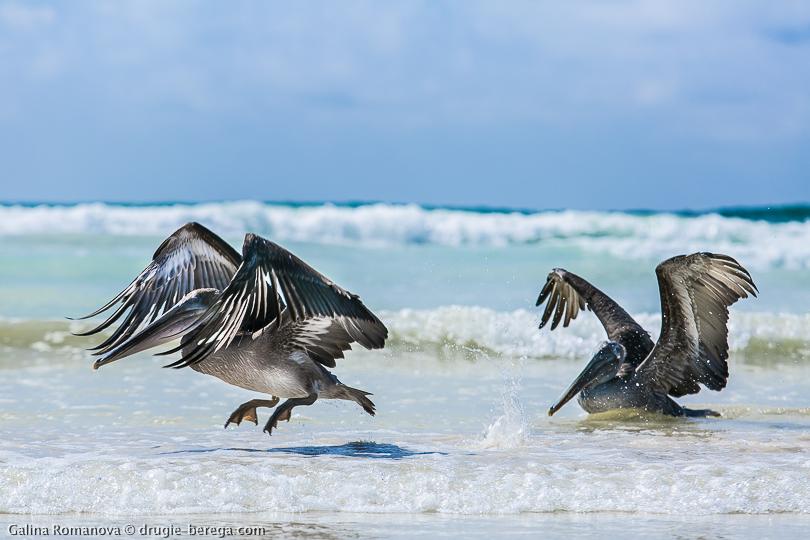 Пеликаны на острове Санта-Круз Галапагосы