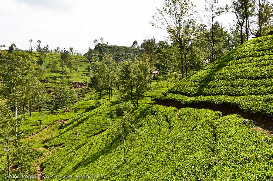 Чайные плантации Нувара Элия, Шри-Лагка, Nuvara Elia, Sri-Lanka