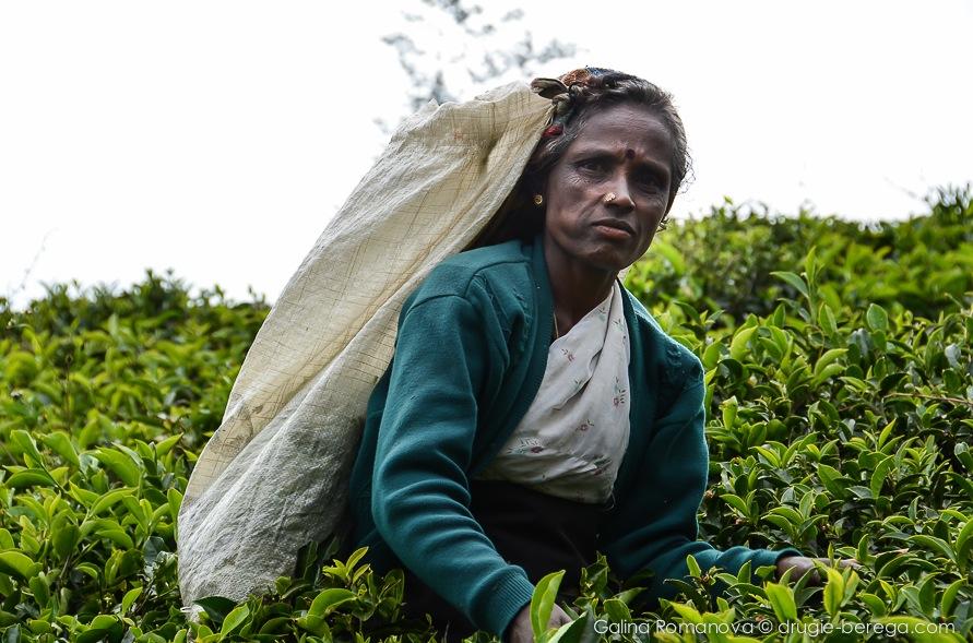 Собирательницы чайных листьев, Нувара Элия, Шри-Ланка, Nuvara Elia, Sri-Lanka