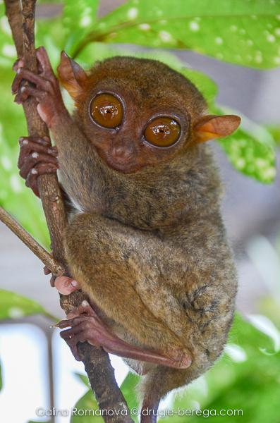 Остров Бохоль, филиппинский торсиер, долгопят (Philippines, Bohol, Philippine tarsier)