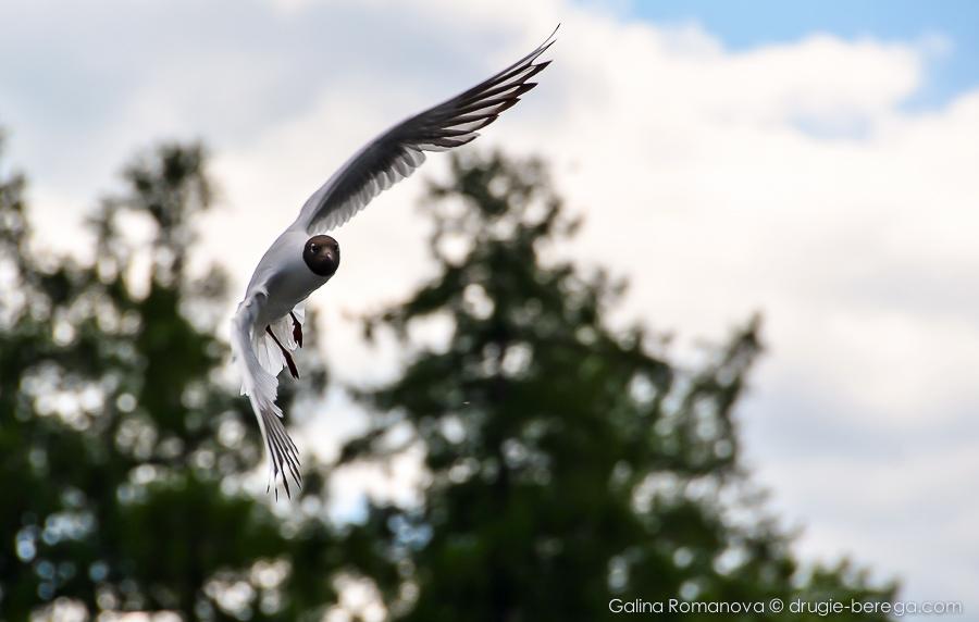 Питерские чайки