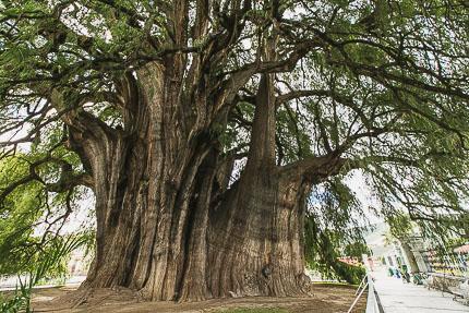 Самый нестройный кипарис. Дерево Туле, Мексика